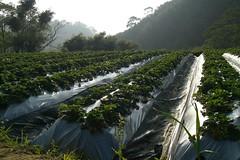 湖丘有機農場之二--孕育有機草莓的好環境