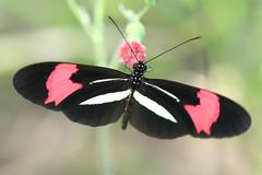 Borboleta (Heliconius erato phyllis) - Butterfly 2 15-04-07 098 - 9 photo by Flávio Cruvinel Brandão