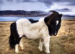 Icelandic Sheepdog photo by Stuck in Customs