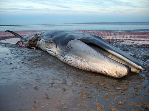 Trunko WhaleHigh Finned Sperm Whale