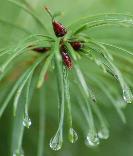 eau de pine fresca (by NW Chik)