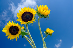 Sunflowers &  Blue Sky photo by Cooriander