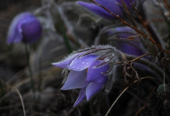 Raindrops on a Crocus