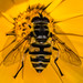 Hoverfly - Myathropa florea
