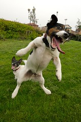 Yeeeaaaaagh!  Jack Russell Madness. Jumping Jacks. aka Crazy Jacks. photo by stuart100