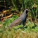 quail in hemlock