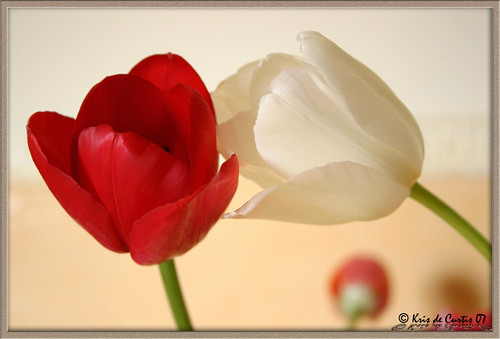 Tulips in Love ... (by krisdecurtis)
