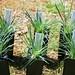 Stylidium graminifolium (Trigger plant)