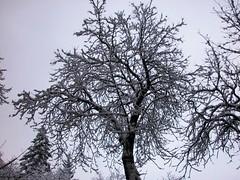 Arbol blanco