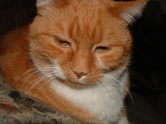 Spike: ginger tabby cat