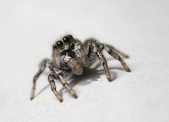 Jumping spider #4
