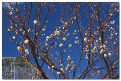Blue sky and plum blossoms