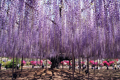 Japanese Wisteria photo by sakichin