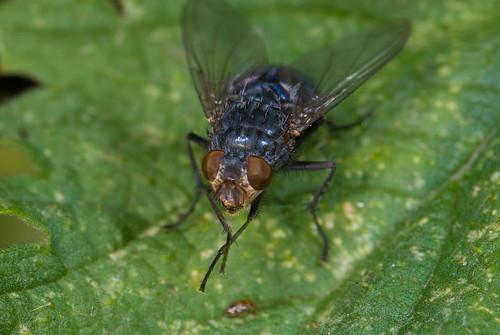 Een vleesvlieg