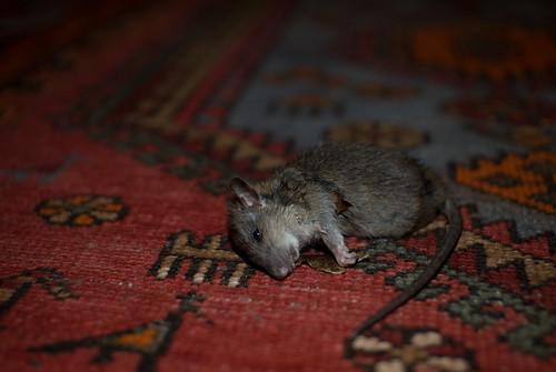 Een dood ratje