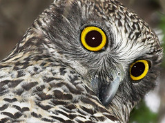 Powerful Owl up close photo by aaardvaark