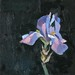 'Iris in bloom', Oil on board, 20x20cm