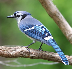 Bright blue jay photo by Henry McLin