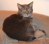 grey manx cat