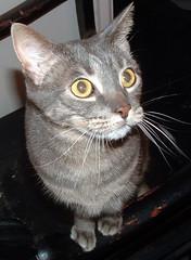 Boo -- grey tabby cat