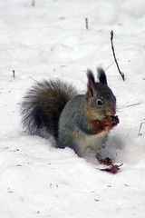 Squirrel turning white by Steffe