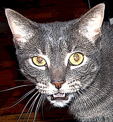 Boo - grey tabby cat