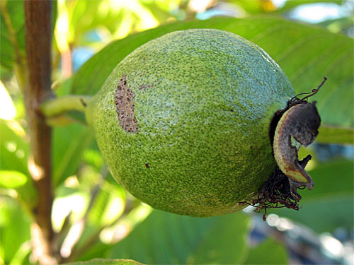Tropic White Guava Fruit