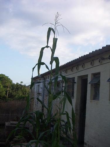 Maize 1