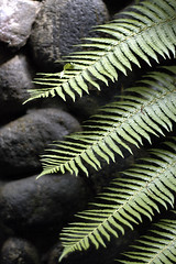 Three Fronds of Fern 3