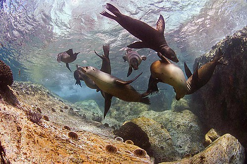 Sea lion tug o' war