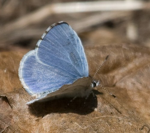 Open-winged Azure