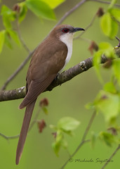 _53F5896 Black-billed Cuckoo photo by ~ Michaela Sagatova ~