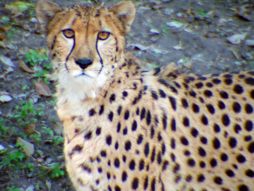 Cheetah 2 (by enlighten-up)