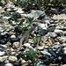 Texas Spotted Whiptail, Cnemidophorus gularis gularis