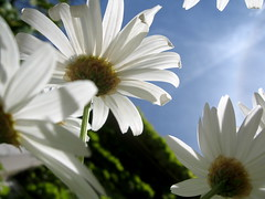 White Daisy Parasols _2269 photo by Rikx