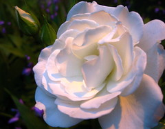 just a rose at twilight photo by Really Helen,very very busy