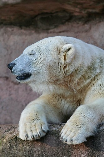 Lazy Polar Bear (by kosmonautica)