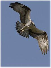 Osprey photo by PixelHawk