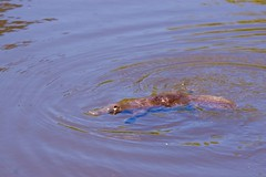 Duck-Billed Platypus, spotted while on holiday in Tasmania