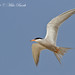 White-cheeked Tern, Sterna repressa