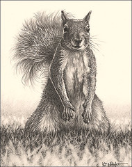 'Looking for Lunch' - Grey Squirrel -  Fine Art Pencil Drawings  www.drawntonature.co.uk photo by kjhayler