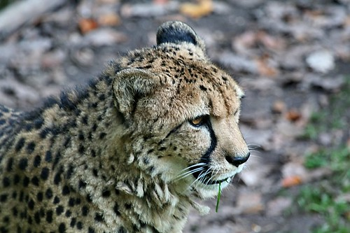 Cheetah / Gepard (by kosmonautica)
