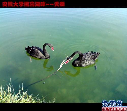 安徽大学榴园湖畔天鹅_10