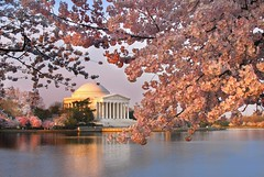 Cherry Blossoms at the Jefferson memorial photo by Michael Foley Photography