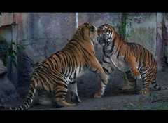 The Tiger Tango photo by Paw Prints Charming