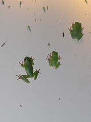 Frogs on Wall photo by Istvan