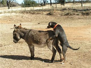 Perro Costeño
