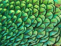 Peacock Feathers photo by Maia C