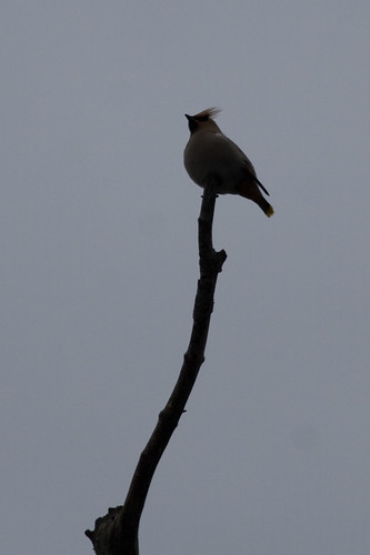 Waxwing on a stick