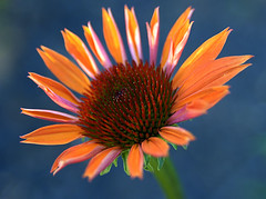 Cone Flower photo by ScreaminScott